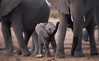 100 000 éléphants menacés de disparition