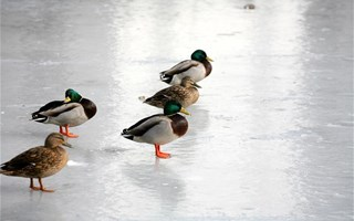 Canards sur le verglas