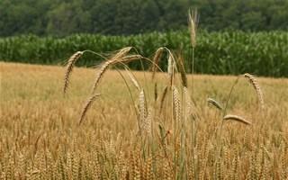 Champ de blé et de maÏs