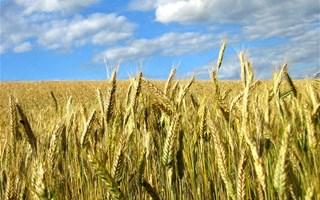 Champs de maïs OGM