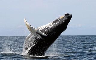 Chasse à la baleine