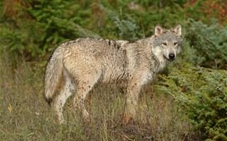 Chasse au loup : 36 loups pourront être abattus cette année