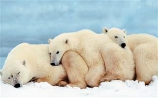 La chasse de l'ours polaire toujours autorisée