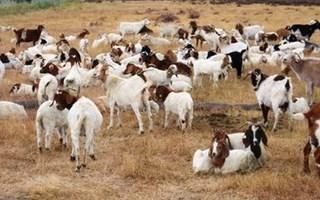 Chèvres utilisées par Google