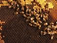 Effondrement des colonies d'abeilles : les apiculteurs se révoltent