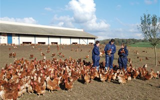 Elevagede poules en plein air