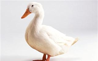 Epidémis de grippe aviaire : les 600 000 canards des Landes vont être abattus