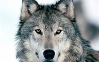 Les français favorables au loup