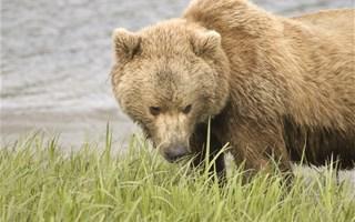 Les français sont très majoritairement favorables à la réintroduction des ours dans les Pyrénées