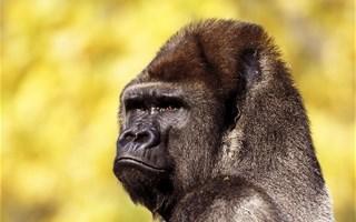 Les grands gorilles menacés d'extinction