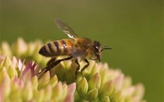Les insecticides néonicotinoïdes triplent la mortalité des abeilles sauvages