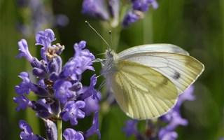 Dans les jardins, l'utilisation de pesticides éradique les papillons et bourdons