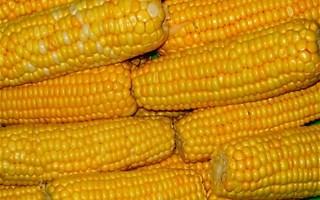 Maïs OGM