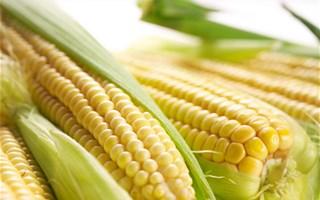 OGM : l'Europe autorise leur culture, les Etats auront le droit de les interdire