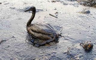 Oiseau souillé par une marée noire