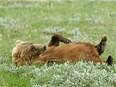 Deux ourses vont être réintroduites dans les Pyrénées