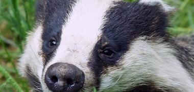 Ouverture de la chasse au blaireau : une pratique cruelle interdite dans les autres pays d'Europe occidentale