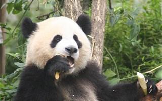Panda en train de manger