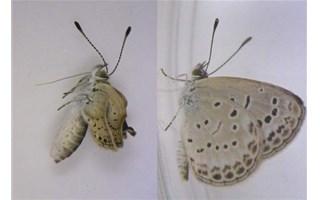 Papillons mutants Fukushima