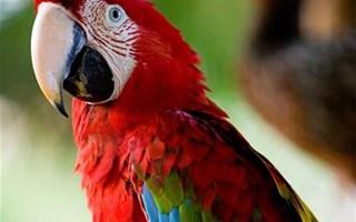 Perroquet Ara Amazonie