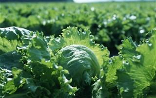 Des pesticides interdits retrouvés dans des salades vendues en supermarché