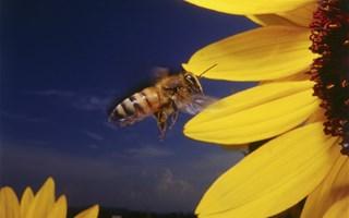Pesticides tueurs d'abeilles : les néonicotinoïdes interdits par les députés