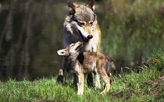 Le plan d'actions Loup vise une population de 500 loups d'ici 2023