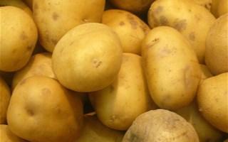 Pomme de terre OGM