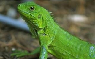 Reptiles dangereux pour les enfants Salmonelle