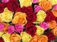 La rose de la Saint-Valentin, cocktail de pesticides