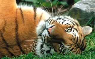 Tigre en voie d'extinction