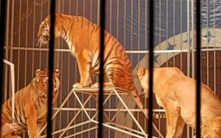 Tigres dans cirque
