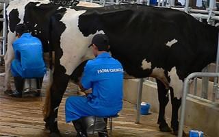 Traite manuelle des vaches