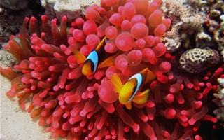 Corail en mer rouge