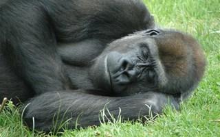 Gorille en train de dormir