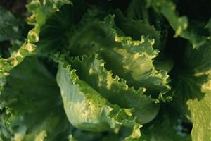 Je ne jette pas mes feuilles de salades flétries